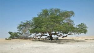 Одиноко стоящее дерево в пустыне Бахрейна – символ вечной жизни