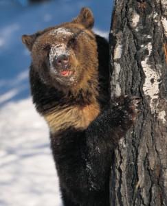Чем опасен медведь-шатун для человека?