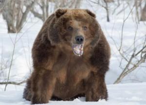 Медведь-шатун - очень опасный зверь.