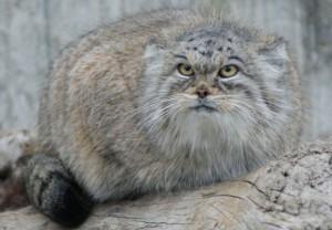 Дикий кот манул - символ Московского зоопарка.