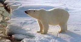 Экспедицию Фёдора Конюхова преследует полярный медведь