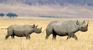 Как спасают носорогов? Защита от браконьеров новыми методами.