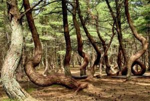 Интересное и таинственное место в России - «Танцующий лес».