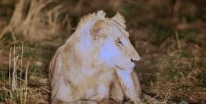 В Танзании обреченного на смерть молодого льва спасли его сородичи.