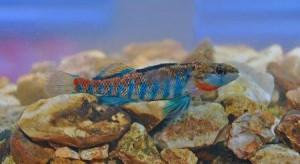 В честь президента Барака Обамы названа пресноводная рыбка