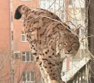 Москвич на своём балконе устроил вольер для рыси