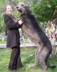 В Чехии в последнее время массово закупают собак-волкодавов