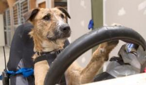 Новозеландские собаки теперь умеют водить автомобиль