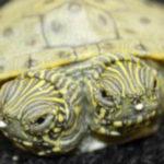 Необычная двухголовая черепашка родилась в американском зоопарке города Сан-Антонио