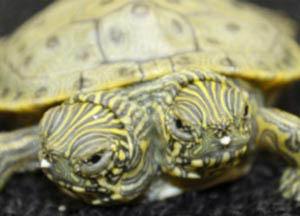 Двухголовая черепашка родилась в американском зоопарке города Сан-Антонио
