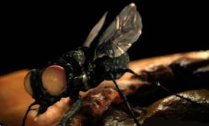 Об опасности укусов экзотическими видами насекомых-паразитов. Личинки тропической мухи поселились в ухе британки.