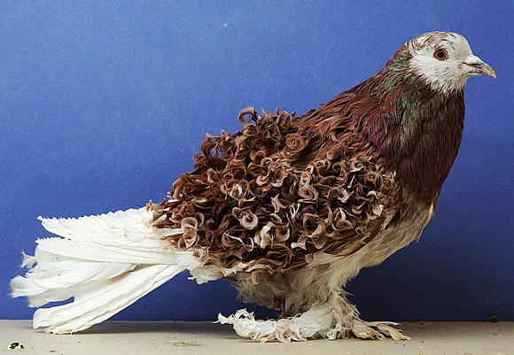 фото всех пород голубей