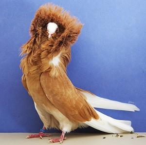 В городе Аделаида (Австралия) состоялась большая голубиная выставка, поразившая всех многообразием пород голубей.
