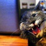 Звезда Интернета – смеющаяся кошка