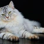 В Челябинске не видно конца судебной тяжбе из-за кошки, стоящей более ста тысяч рублей