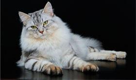 В Челябинске не видно конца судебной тяжбе из-за кошки стоящей более ста тысяч рублей