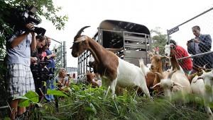 Экологические козы нашли работу на кладбище