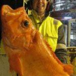 У берегов Норвегии водятся гигантские окуни
