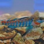 В честь американского президента Барака Обамы названа маленькая пресноводная рыбка