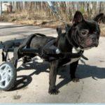 Новосибирский мастер делает коляски для собак-инвалидов.