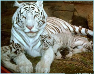 Учёные узнали тайну прекрасных хищников – белых тигров.
