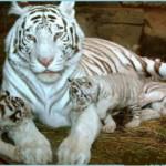 Учёные узнали тайну прекрасных хищников – белых тигров