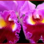 Согласно легендам, орхидеи – это «осколки» радуги. + Красивые фото