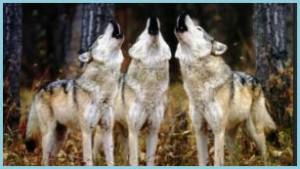 Учёные Великобритании теперь различают волков по вою.