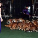 В труппе семьи дрессировщиков Багдасаровых за последние полтора года погибло 7 молодых тигров