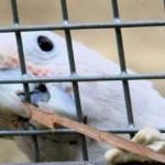 Попугай какаду показал свою изобретательность в изготовлении орудий труда. + Видео