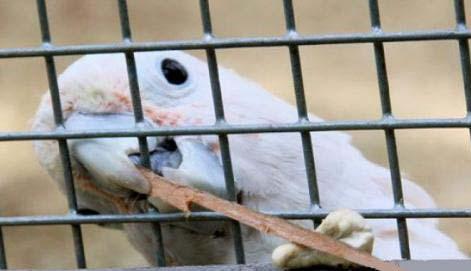 Попугай какаду показал свою изобретательность в изготовлении орудий труда.