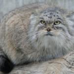 Дикий кот манул — символ Московского зоопарка.