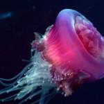 Мир медуз – загадочных жителей морских глубин.