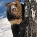 Чем опасен медведь-шатун для человека? (часть 1)
