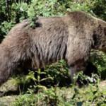 В Швейцарии убит последний медведь.
