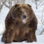 Чем опасен медведь-шатун для человека? (часть 2)