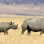 Как спасают носорогов? Защита от браконьеров по-новому.