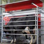 Роботы сегодня доят коров. Воплощение мечты животновода. Видео