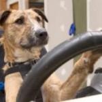 Новозеландские собаки теперь умеют водить автомобиль. Видео