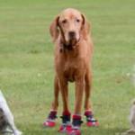 Пёс в сапогах — не старая сказка на новый лад, а спасение собаки от аллергии.
