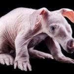 В Екатеринбургском зоопарке живёт впервые родившийся в неволе в России детёныш трубкозуба — редкого зверя из Африки