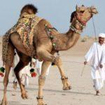 Восточное искусство украшения домашних верблюдов