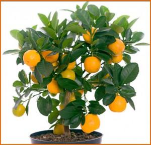 Обязательно вырастите на подоконнике апельсиновое дерево – свежесть воздуха и неописуемая красота в помещении Вам обеспечены!