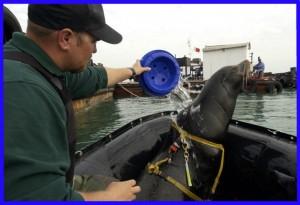 Дельфины и морские львы на военной службе