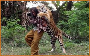 В Индонезии мужчина приручил тигра и теперь проводит со зверем опасные тренировки.