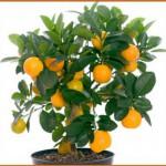 Обязательно вырастите на подоконнике апельсиновое дерево – свежесть воздуха и неописуемая красота в помещении Вам обеспечены! Видео