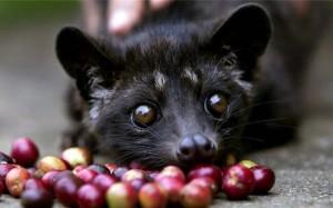 Малайские пальмовые куницы – мусанги – участвуют в производстве кофе - самого дорогого в мире.