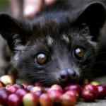 Малайские пальмовые куницы – мусанги – участвуют в производстве кофе — самого дорогого в мире.