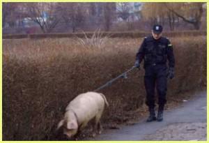 Удивительные способности домашних свиней. Любопытная история о свинье, служившей в полиции.