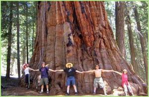 Гигантская секвойя - самое огромное дерево на планете!